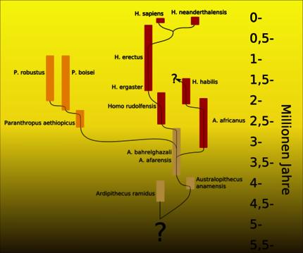 5, hypothetischer Stammbaum des Menschen